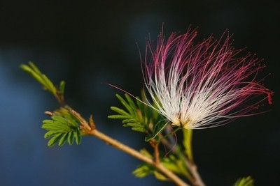 Pink Silk blossom