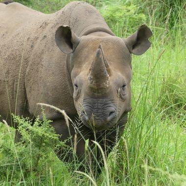Rhino Black