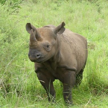 Young Black Rhino