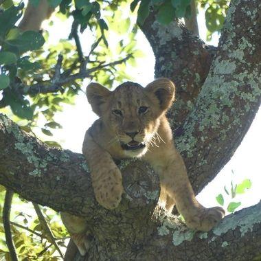 Treed Lion Cub