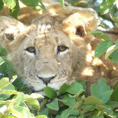 Lion Cub Stare