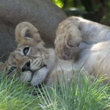 Lion Cub Relaxing