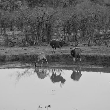 Young and adult Nyala bulls spotted at the waterhole at Punda Maria Rest Camp in Kruger National Park.