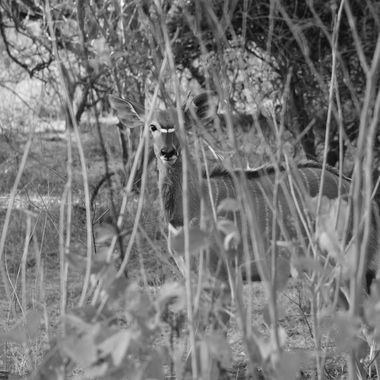 Young nyala bull observed near northern end of Kruger National Park.
