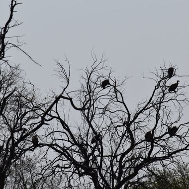 Cape Vultures observed late in the afternoon near Shingwedzi Rest Camp.