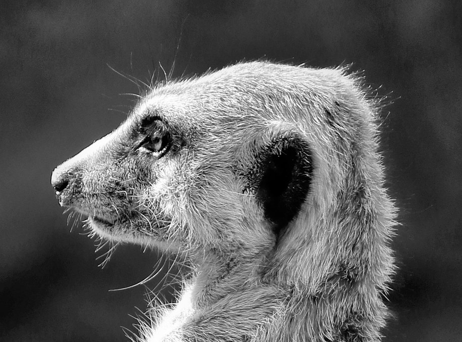 meerkat side mugshot in black and white