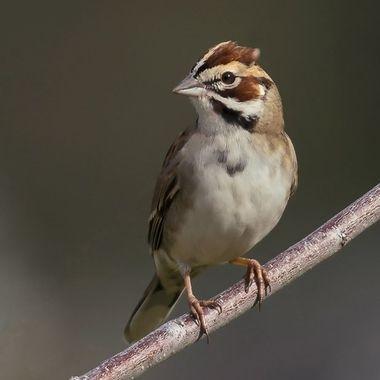 Lark Sparrow DSC09159