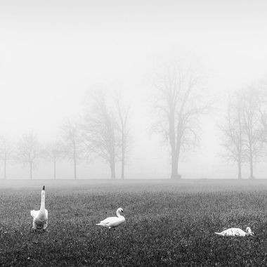 Thun my home, in the fog. With the hungry swans who make their way every day, from the lake to us, to find their food.