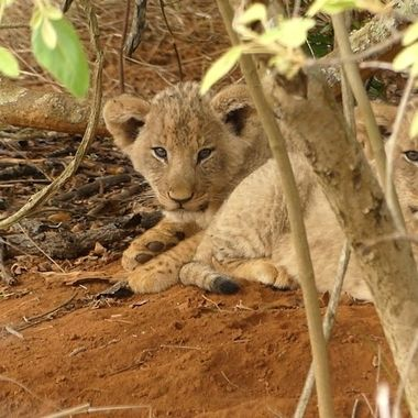 Lion Cub 6