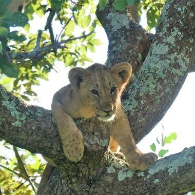 Lion Cub 7