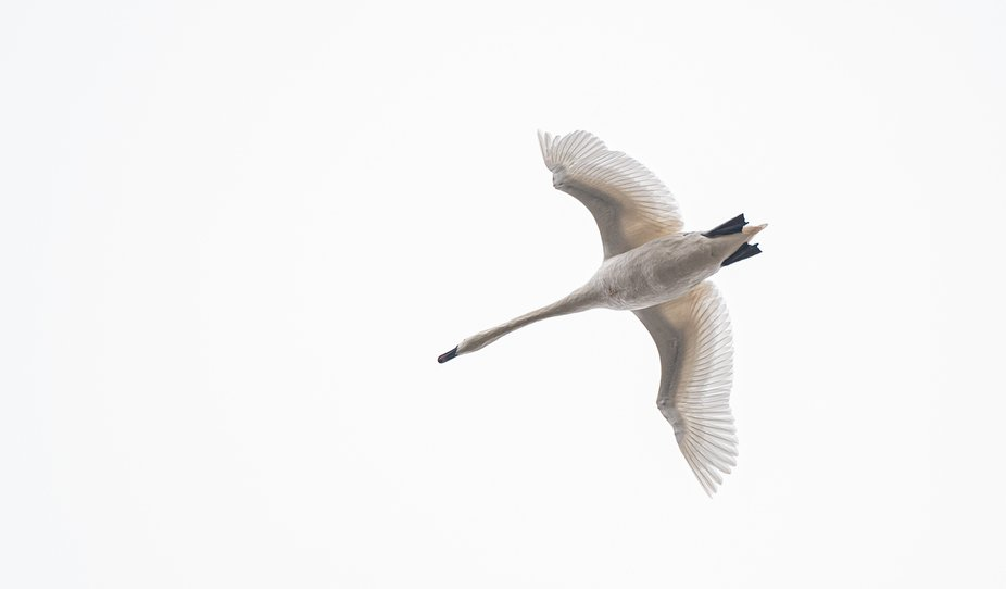 Swan from below
