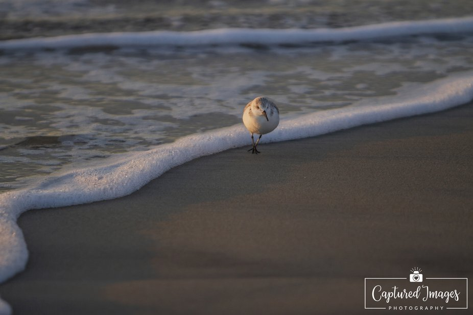 I lone sandpiper caught by the water's edge as a wave come rolling in.