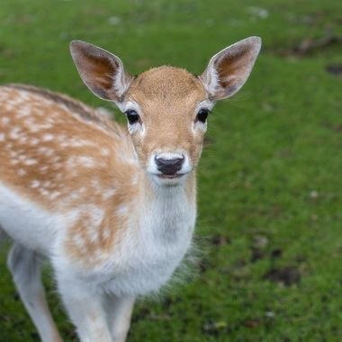 Young deer looking straight into the camera with fine symmetry of the face.
