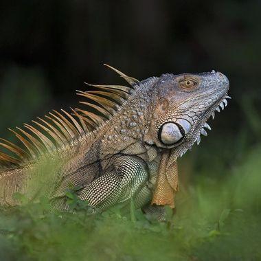 Iguana DSC07746
