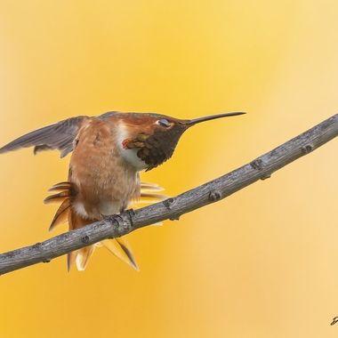 Allen's Hummingbird DSC01239
