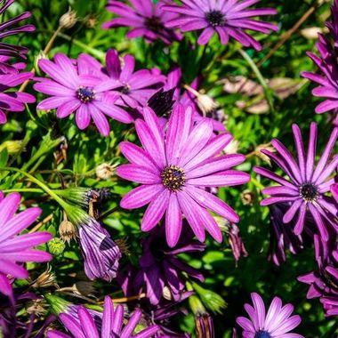 a close up of a garden of purple flowers in full bloom taken in Marbella, Spain