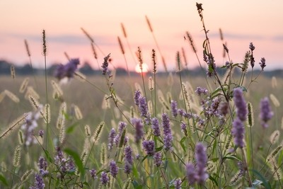 Purple Wildflowers at Sunset