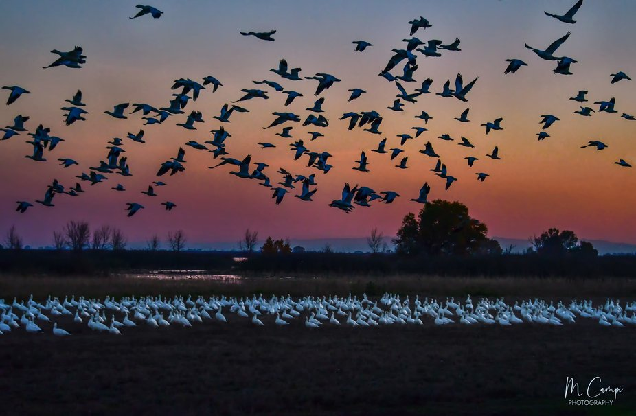 Snow Geese at sunset in Merced,California.
