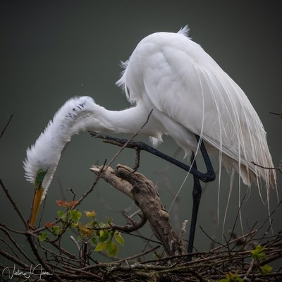 Great Egret making a few nest adjustments.