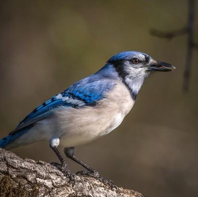 Blue Jay in rhe morning light.