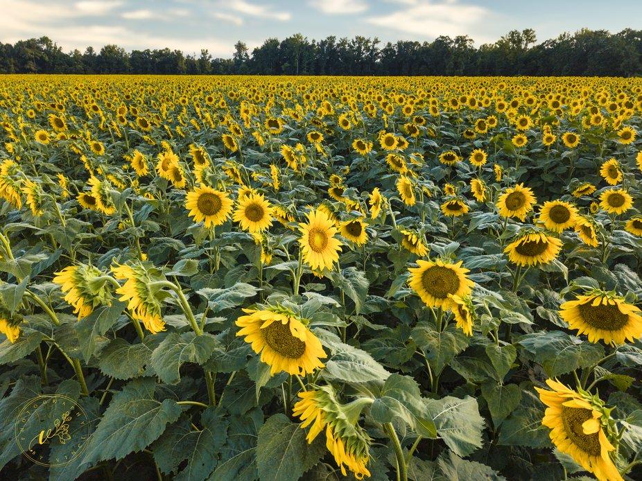 Drone Sunflower field2