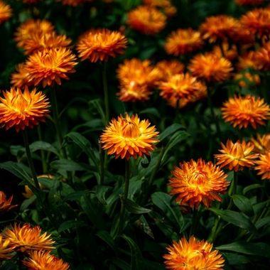 a close up shot of a garden of orange flowers taken in Marbella, Spain