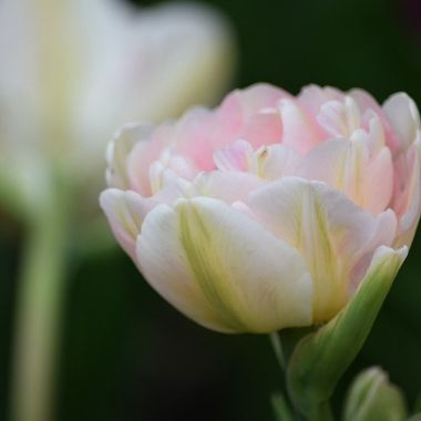 Double tulip in her  glory