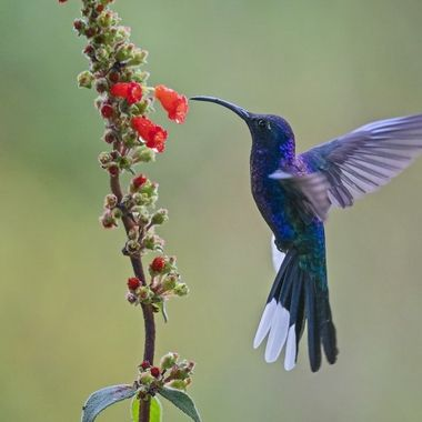 Violet Sabrewing Hummingbird DSC032