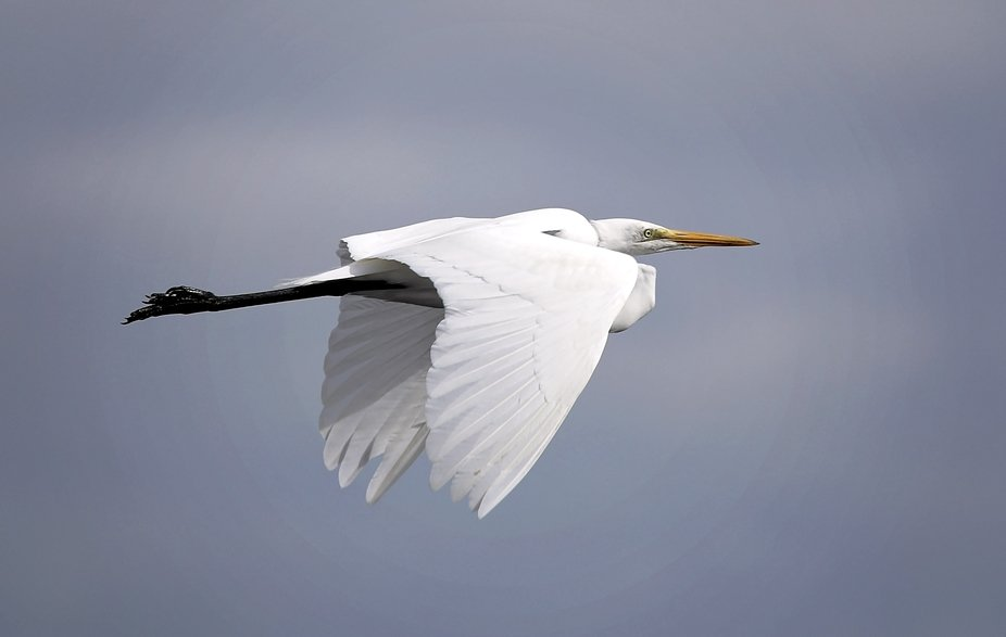 A Great White Heron in flight.
