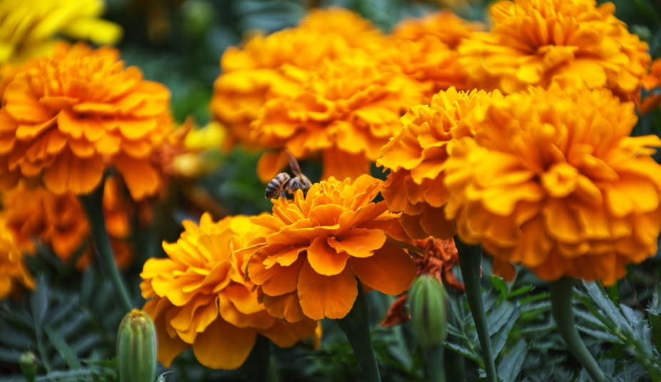 Bees and Marigolds