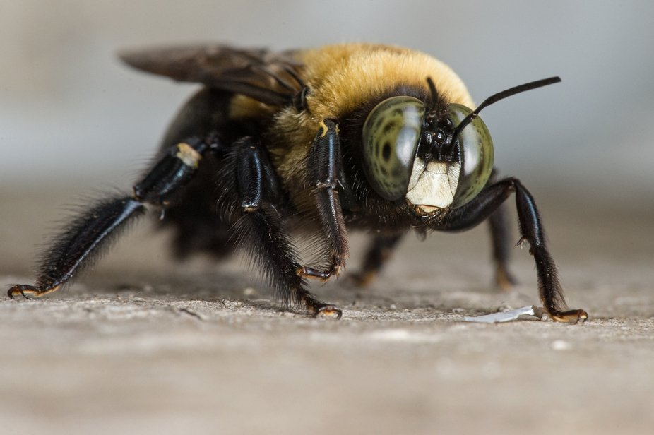 Close-up of brown belted bumblebee