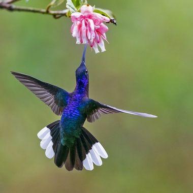 Violet Sabrewing Hummingbird DSC04230
