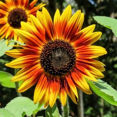 Sunflower in the garden IMG_0324
