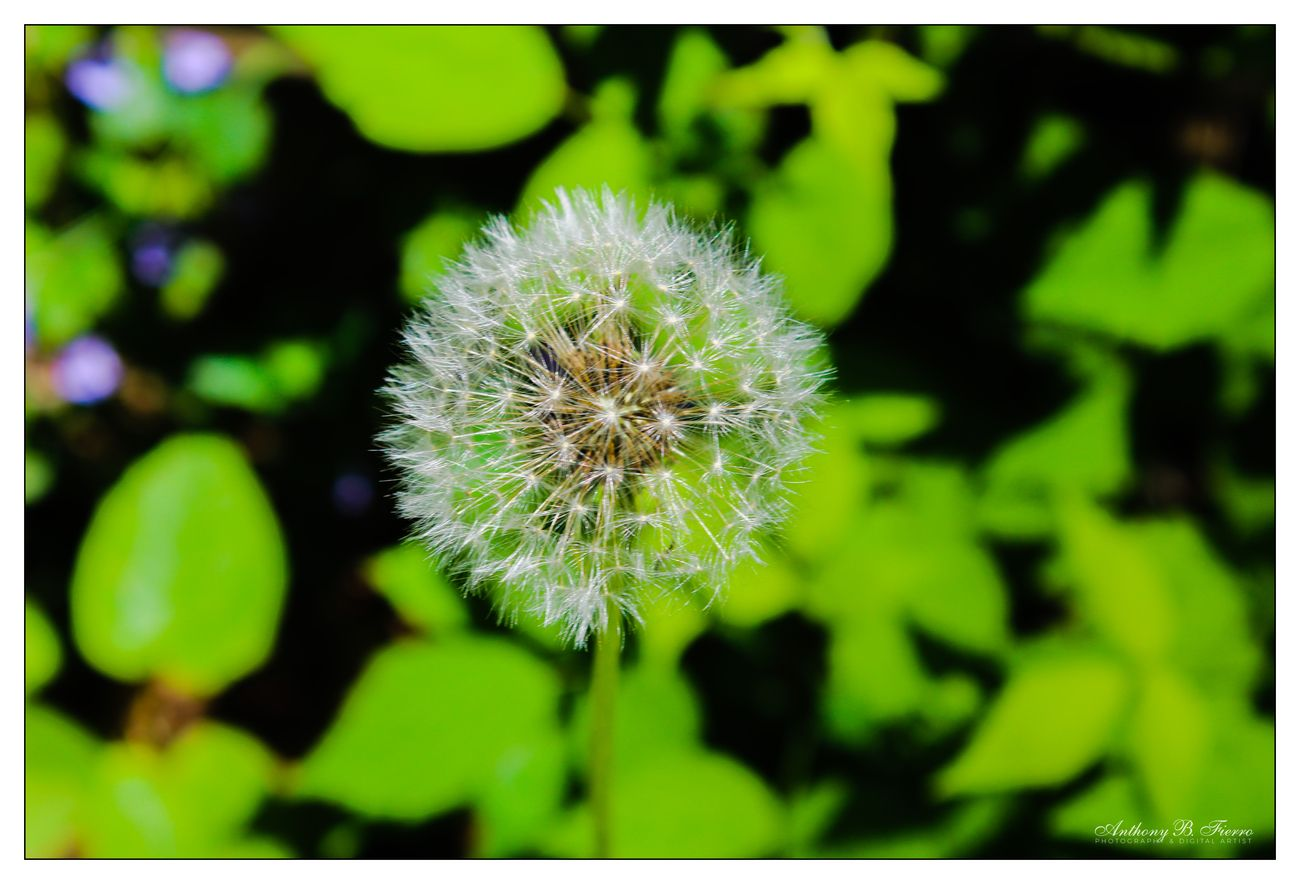 Dandelion A