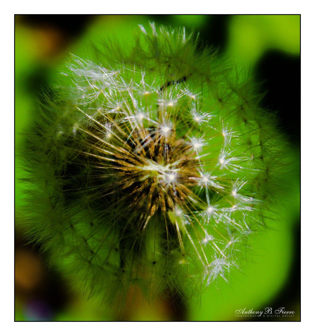 Dandelion B1
