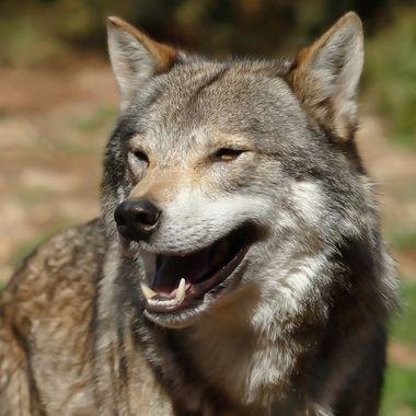 Canis lupus, mamifero carnivoro propio de España,fotografiado en una reserva en Antequera ((Malaga-Spain).Suelen cazar en manada