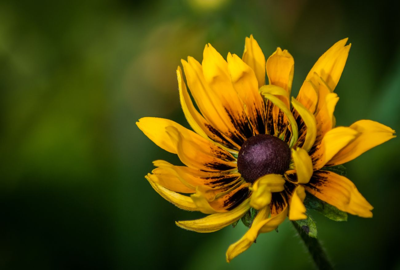 A single yellow Rudbeckia flower with green out of focus background