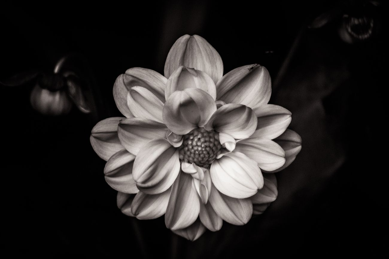 Close up of a dahlia flower in black in white