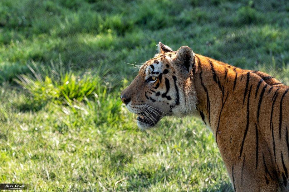 Bengal tiger in Hacienda Nápoles Theme Park