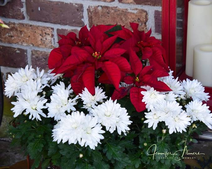 Poinsettia and Mums