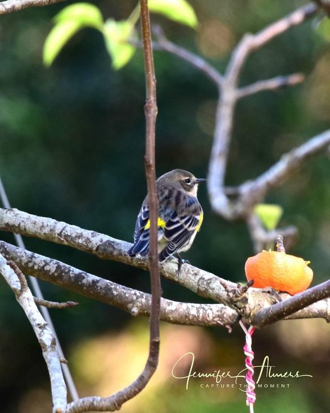 Yellow Rump Warbler Guarding Orange