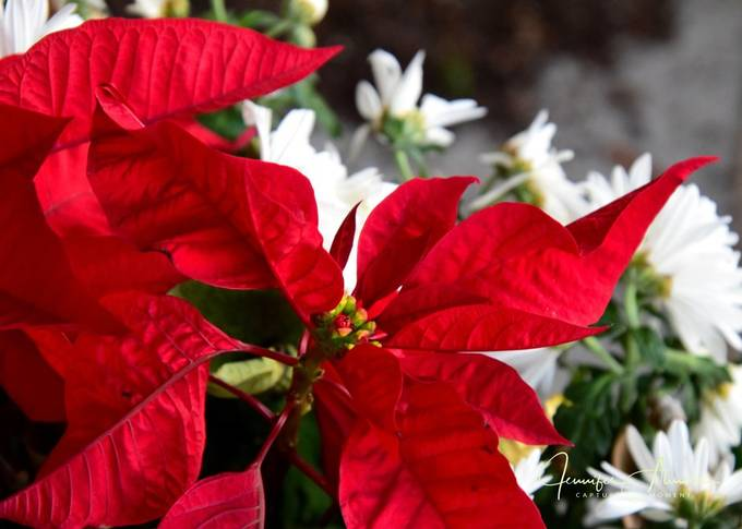 Poinsettia Different View