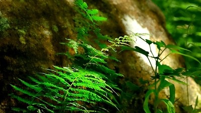 Eastern Bracken Fern - Ptendium aquilinum