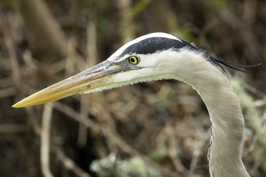 """Great Blue Heron - """"Concentration"""""""