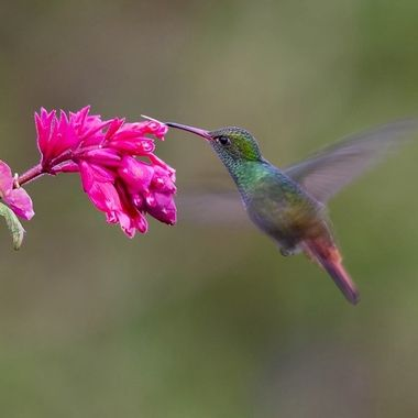 Rufous-tailed Hummingbird DSC06855