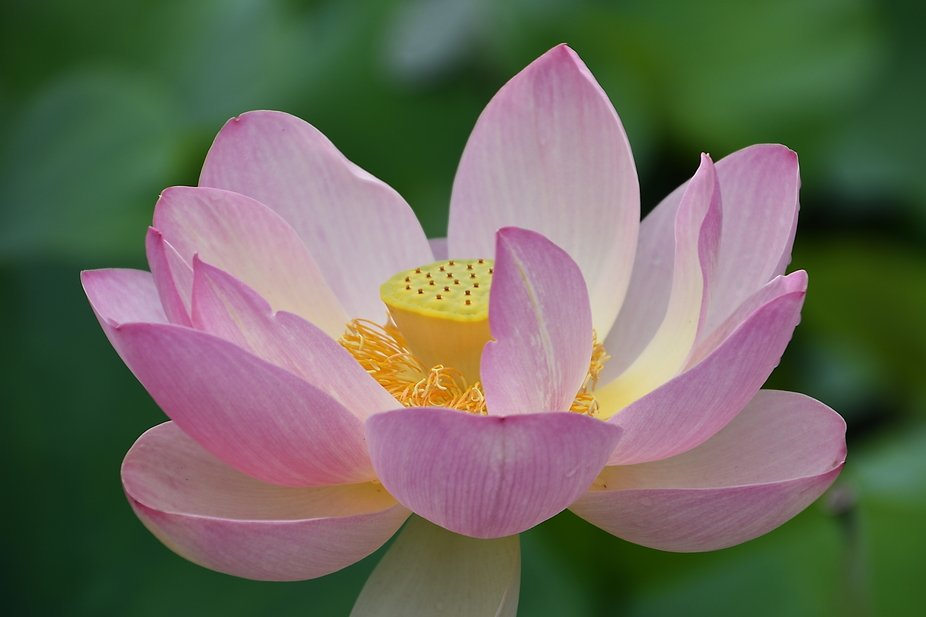 The Lotus produces flowers and fruit and seed at the same time and is beautiful to view in any st...