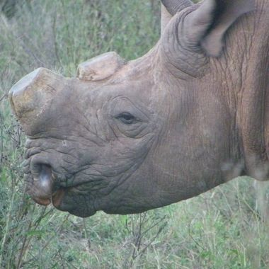 Black rhinoceros without horns to protect him from poachers in Addo Elephant National Park.