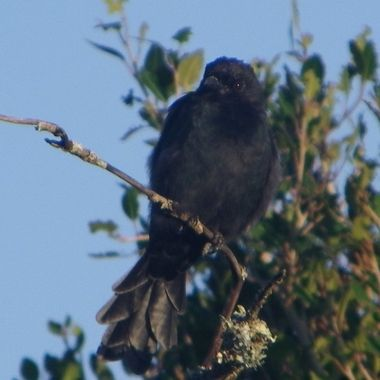 Forktailed Drongo observed in Addo Elephant National Park.