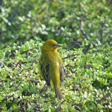 Cape Weaver observed in Addo Elephant National Park.