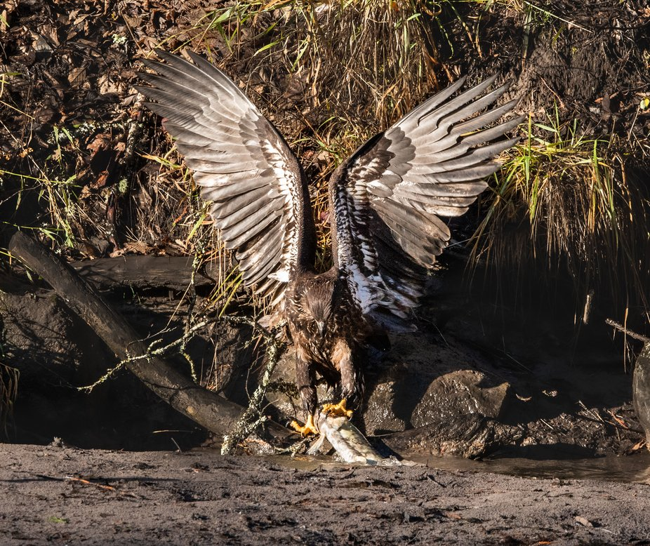 This juvenile bald eagle is trying to catch a dead salmon without being attacked from adult bold ...